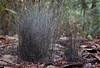 Phycomyces blakesleeanus (Ron Wolf) Tags: california nature mushroom fungi fungus bigbasinredwoodsstatepark zygomycota zygomycetes phycomycetaceae calphotos phycomycesblakesleeanus