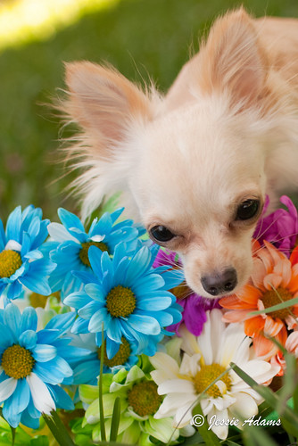 Colorful Flower Chihuahua Power