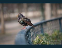 parisian bird ... (zakia hadjadj) Tags: paris bird nature oiseau parisian birdy etourneau 2011 sansonnet