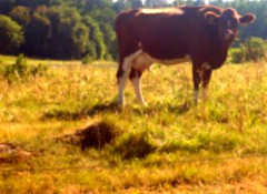 Blurred cow (Nin) Tags: summer cow sweden country ko sommar kungsngen