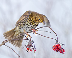 Thrush and prey (Andrew Haynes Wildlife Images ( away for a while )) Tags: bird nature wildlife coventry warwickshire thrush brandonmarsh canon7d ajh2008