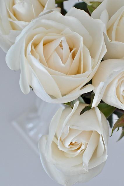 roses -181