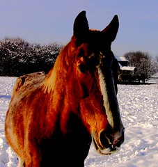 Pferd im Schnee -effect-V (roba66) Tags: horse cheval tiere pferd galope galop roba66 effekteaquarelle