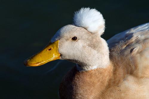 Poodle Duck