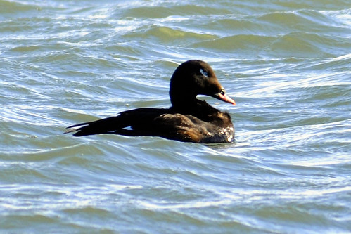 white winged scoter cape february