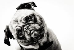 The Pug (Travis Lawton) Tags: camera old portrait people blackandwhite bw dog pet brown white cute nature animal vertical canon cutout puppy square mammal one is eyes looking view shot sweet background space young adorable pug canine front full domestic stare aww years doggy pup awww breed pugs creature length wrinkles copy attentive isolated alert awwww pedigree vertebrate lightroom wrinkled pugpuppy purebred pedigreed 70200mmf28lis f28l strobist 5dmkii 5dmk2 pugshots pugimages bwstaresweet70200mm travislawton travislawtonphotography