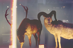 Caribu at NHM (katpreston) Tags: london history texture film glass animals museum stuffed sheep natural horns posed taxidermy caribu