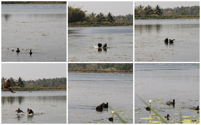 The Coot Fight with the Brahminy Kite
