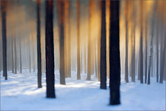 ray of light II (Sandra Bartocha) Tags: schnee trees winter snow forest pines tilt wald bume kiefern rayoflight lensbabytilttransformer