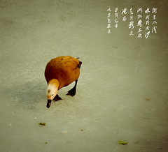 (adamandsonunlimited) Tags: poem houhai  shishahai  wildduck