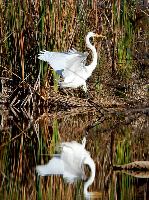 Great Egret reflection 2-20110218