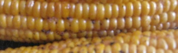 Grilled Corn Header