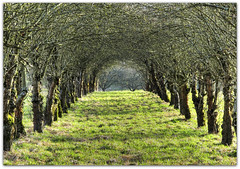 Avenue of Apple Trees (Habub3) Tags: park travel trees winter holiday plant tree green nature forest canon germany landscape deutschland licht vanishingpoint spring search flora europa europe walk urlaub natur meadow wiese powershot grn avenue landschaft wald bume baum apfel hdr vacanze reise allee spaziergang g12 2011 serach remstal apfelbume habub3 mygearandme