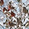 huddle (nosha) Tags: new winter light snow cold bird beautiful beauty birds animal photography newjersey snowstorm nj finch jersey avian lightroom 2011 nosha 28300mmf3556 nikond300