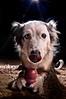 kaylee (readmckay) Tags: ca dog puppy collie mckay border canine bordercollie bakersfield kaylee heterochromia d40 iridum bieyed shedenara