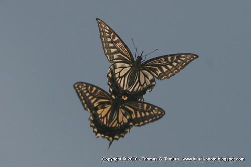 Images Of Butterflies In Flight. Butterflies in Flight!