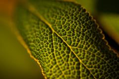 Sage Macro (On the mountain at dawn) Tags: plant detail macro texture nature up leaf nikon close sage backlit tamron 90mm lightroom d3000
