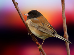 sweet junco bird (Diana_Khalil) Tags: sunset macro bird closeup bokeh junco ngc finch sparrow darkeyedjunco littlebird bestofblinkwinners