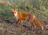 Fox ( Vulpes vulpes ) (Andrew Haynes Wildlife Images) Tags: nature mammal fox coventry warwickshire brandonmarsh canon7d ajh2008