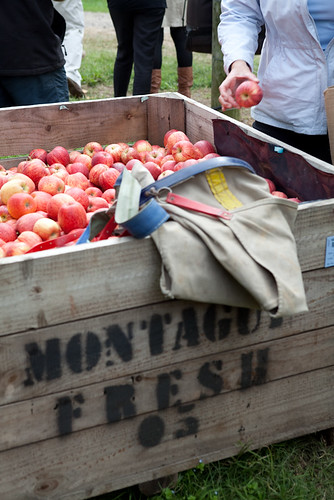 fresh handpicked apples in container