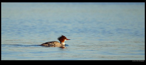 Common Merganser Female (Mergus merganser)