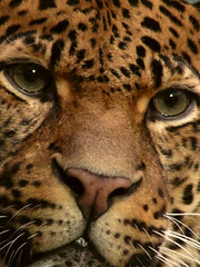 Staring At... (George.Argyrakis) Tags: wild portrait berlin nature beautiful face animal closeup cat nose zoo amazing eyes feline panasonic leopard closeshot staring glance ocelot muzzle felid animalportrait zoological impressedbeauty dmcfz28 panasonicdmcfz28 flickrbigcats