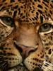 Staring At... (George.Argyrakis) Tags: wild portrait berlin nature beautiful face animal closeup cat nose zoo amazing eyes feline panasonic leopard closeshot staring glance ocelot muzzle felid animalportrait zoological impressedbeauty dmcfz28 panasonicdmcfz28 flickrbigcats