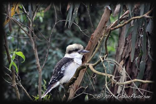 59-365 Kookaburra sits in the gum tree