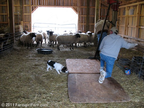 Bert on Sheep Shearing Day 9