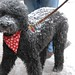 Snow Covered Poodle