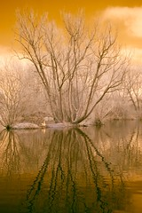 Retinal (Andy Stafford) Tags: orange reflection tree ir 350d leicestershire ripple goose infrared watermeadpark birstall