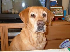 20061216_0902 (yuki_alm_misa) Tags: ラブラドール retriever dog labradorretriever lab ラブ 犬 fujifilm f710 レトリーバ わんこ イヌ labrador ワンコ ラブラドールレトリーバー レトリーバー
