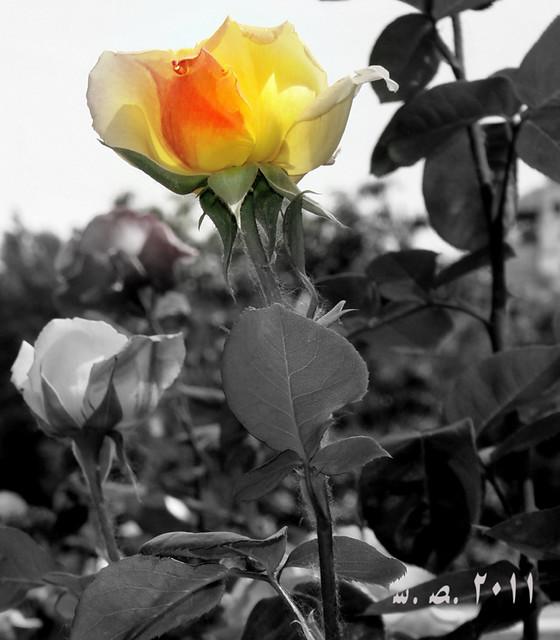 Rosa de la Alhambra...