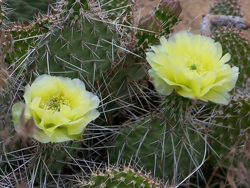 100_3778_Cactus_Flower