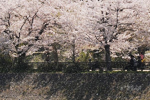 櫻花花瓣,佈滿整個川邊