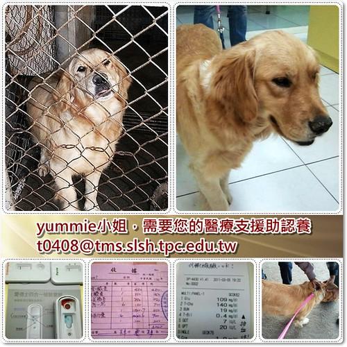 「需要支援」台北從員林收容所救出的黃金獵犬小姐~健檢中艾莉西體,需要支援,另淚眼黃金被領養一天就被退貨需要揪團,20110307