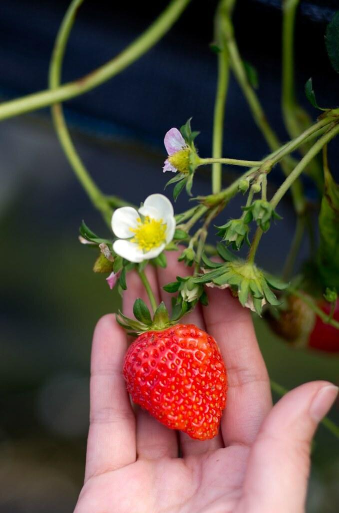 11.02.26草莓小P