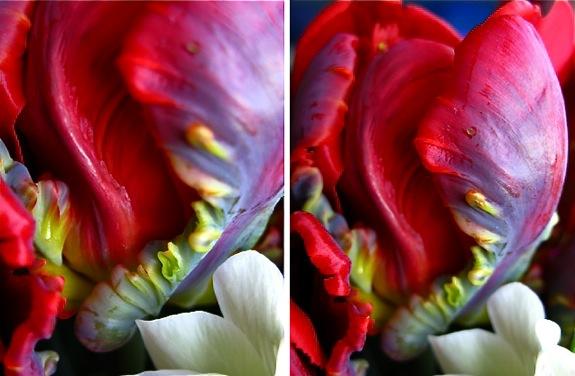 tulip hyacinth anemone flowers 008