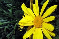 2011 03 10_African Daisy_0448 (George (Patti) Larcher (333K Views - Thank you!)) Tags: africandaisy yellowflowers