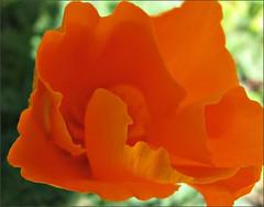 California Poppy #1
