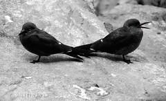 Yeah....Keep Talking :-) (PuffinArt) Tags: bird portugal animal nikon lisboa lisbon ave chicks puffinart nikkor captive juvenile vr passaro captivity oceanarium oceanário backtoback d300 incatern crias jovens cativeiro larosternainca 18200mm pintos vandamalvig blackbody andorinhadomarinca decostasviradas