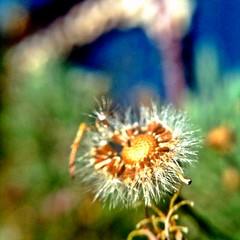 Erigeron Fluff (Theen ... busy) Tags: macro fluffy fluff seeds daisy launch breeze erigeron seedball theen iphone3gs