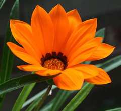 Orange Beauty (K Conkling) Tags: nature flower botanical outside insects bugs flowers macro garden floral wonderfulworldofflowers flora outdoor
