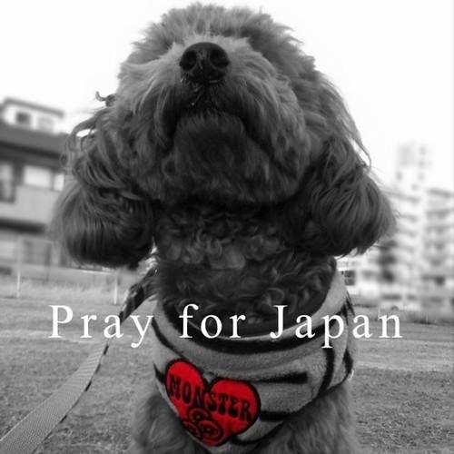 上を向いて歩こう #prayforjapan #dog #poodle