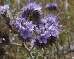Phacelia 01 (Tom Hilton) Tags: color wildflowers phacelia phaceliatanacetifolia windwolvespreserve hydrophylllaceae