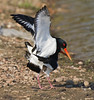 Ooh er missus (Andrew Haynes Wildlife Images) Tags: bird nature wildlife coventry warwickshire oystercatchers brandonmarsh canon7d ajh2008 mating2011