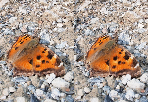 Nymphalis xanthomelas, stereo parallel view
