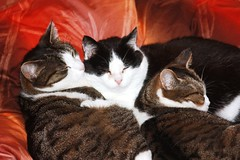 A cat family (Elysium 2010) Tags: cats pets fun nap cosleeping catsfamily top20clonepics affectivebonding