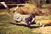 365/77 - Tea Time (RachelMarieSmith) Tags: selfportrait fly flying corgi tea magic flight pembrokewelshcorgi floating levitation welshcorgi 1to365