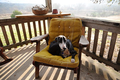 Memo the Whippet enjoying the morning sun (peterlfrench) Tags: morning dog pet sun morninglight chair texas whippet memo porch hillcountry petportrait